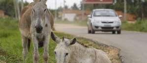 O Globo: Excesso de jumentos e consumo de sua carne no RN viram polêmica na Câmara
