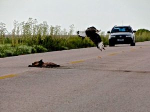 Atropelamento de fauna passa a ser pauta urgente